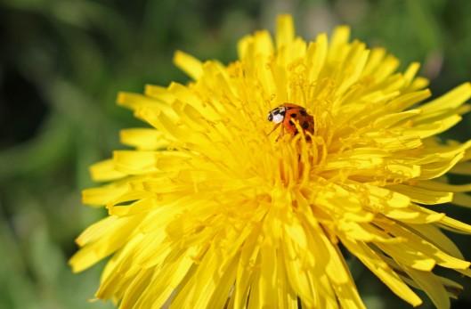 151212 ladybird harlequin (2)