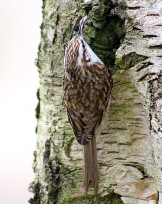 151213 tree creeper (1)