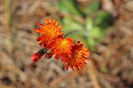 151216 Pilosella aurantiaca Orange hawkweed aka fox and cubs