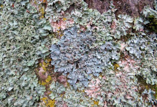 151217 lichen on copper beech (1)