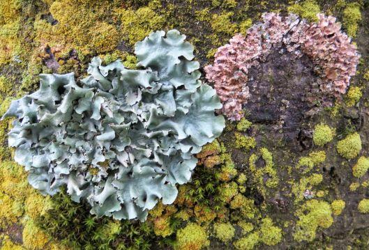 151217 lichen on copper beech (2)