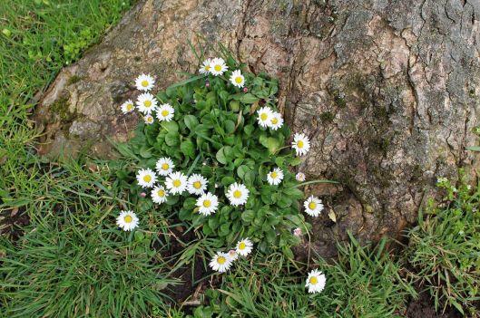151218 common daisy (1)