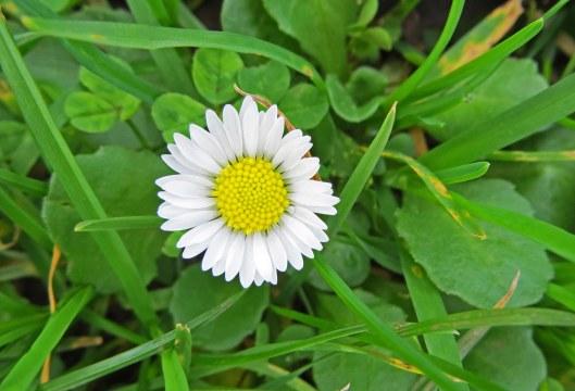 151218 common daisy (2)