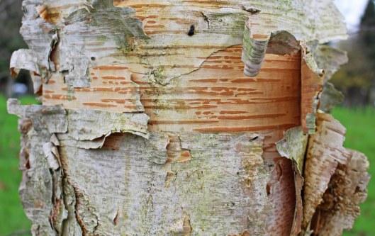 160111 paper birch bark (2)
