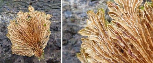 160114 Schizophyllum commune Split Gill (2)