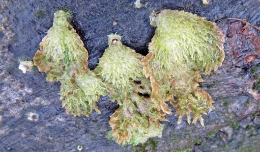 160114 Schizophyllum commune Split Gill (3)