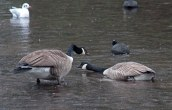 160118 canada goose (3)
