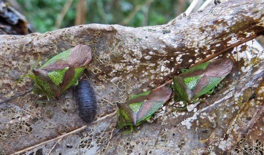 160125 Hawthorn Shieldbug (1)