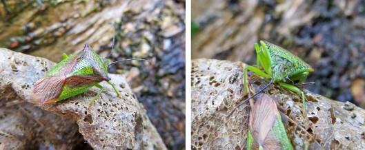 160125 Hawthorn Shieldbug (2)