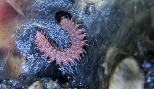 160201 Millipede (Polydesmus complanatus) (2)