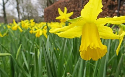 160204 daffodil (3)