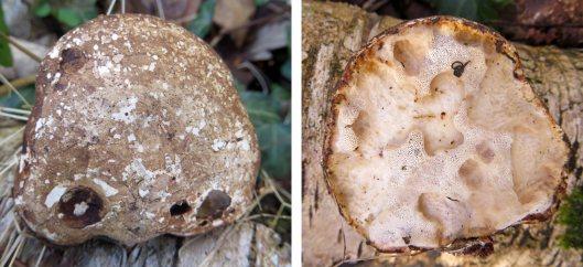 160206 birch polypore (3)
