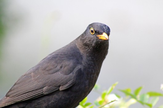 160211 blackbird (1)