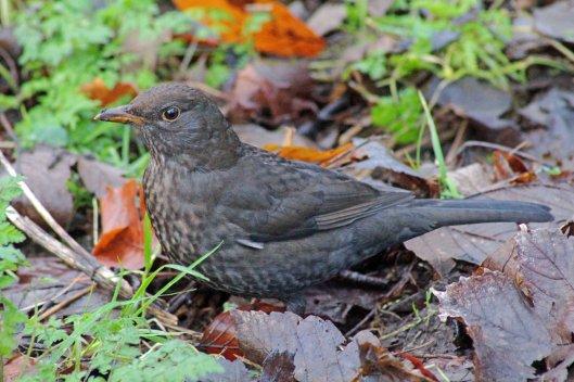 160211 blackbird (2)