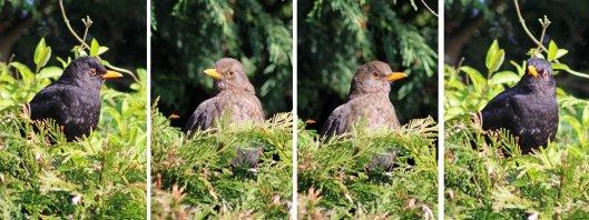 160211 blackbird (3)