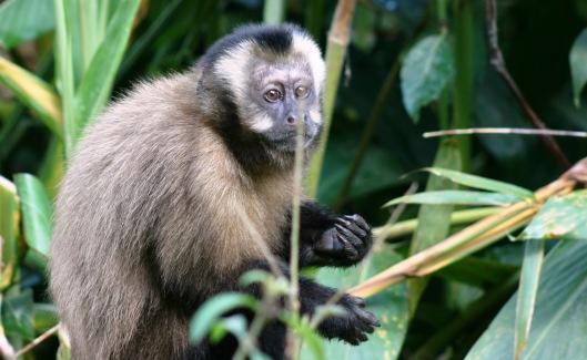 160212 peru Brown capuchin Manu