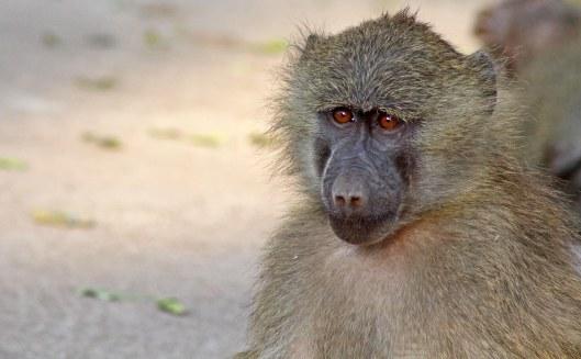 160212 tanzania baboons (3)