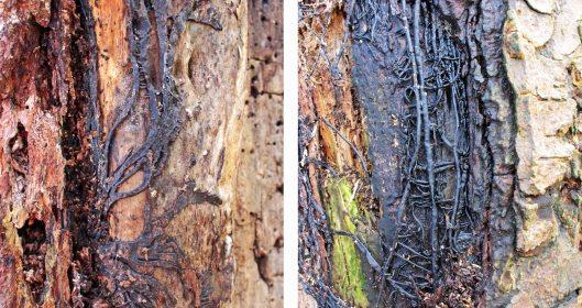 160216 Armillaria mellea (Honey fungus) bootlaces (rhizomorphs)