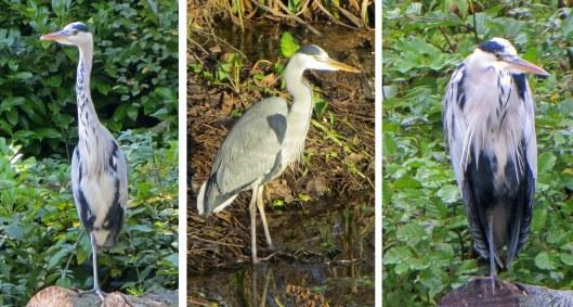 160218 grey heron (1)