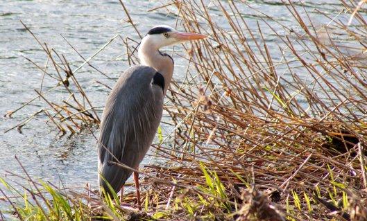160218 grey heron (2)