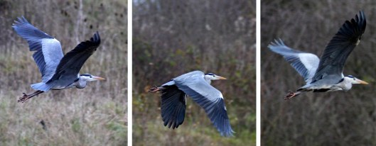 160218 grey heron flying