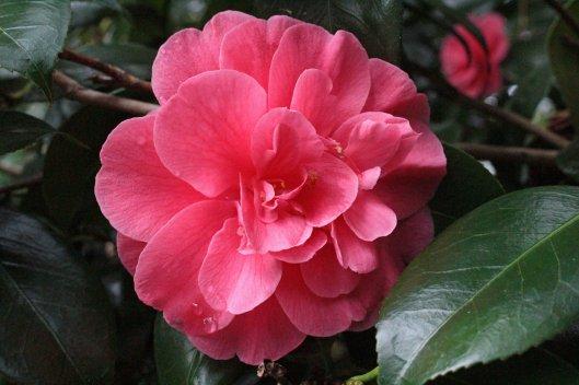 160220 camellia (1)