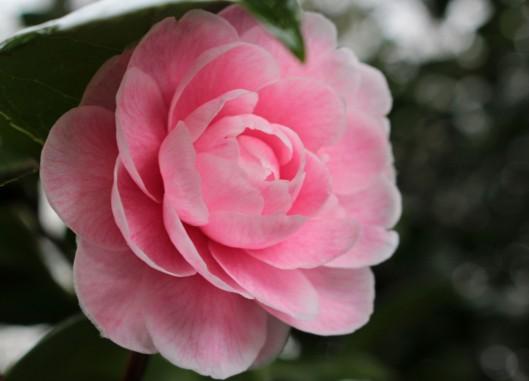 160220 camellia (2)