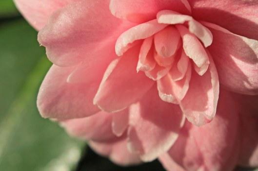 160220 camellia (4)