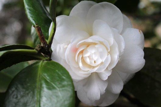 160220 camellia (5)