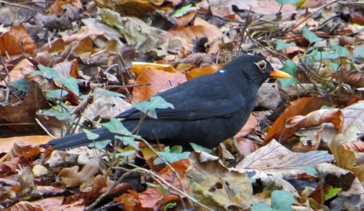160221 leucism blackbird