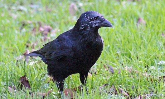 160221 leucism crow
