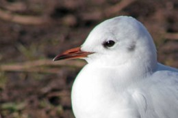 160223 black headed gull (1)