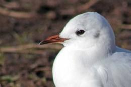 160223 black headed gull (1)