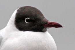 160223 black headed gull (10)