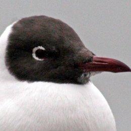 160223 black headed gull (10)