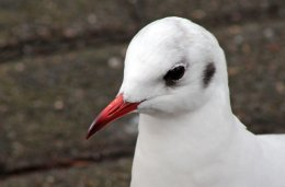 160223 black headed gull (2)