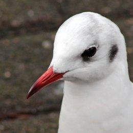 160223 black headed gull (2)