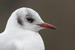 160223 black headed gull (3)