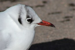 160223 black headed gull (4)