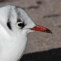 160223 black headed gull (4)