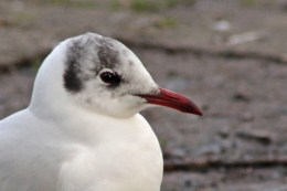 160223 black headed gull (5)