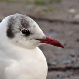 160223 black headed gull (5)