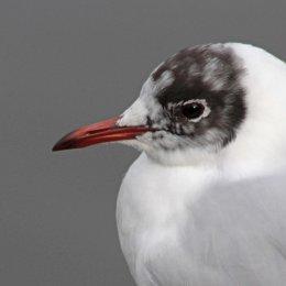 160223 black headed gull (6)