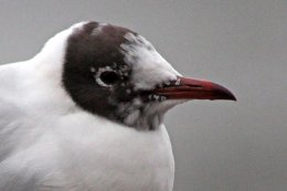 160223 black headed gull (7)