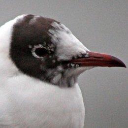 160223 black headed gull (7)