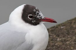 160223 black headed gull (8)