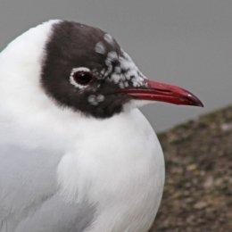160223 black headed gull (8)