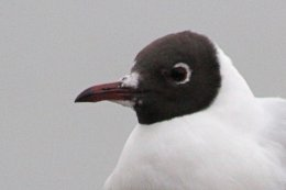 160223 black headed gull (9)