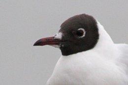 160223 black headed gull (9)