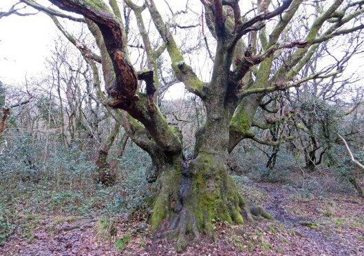 160225 brynna ancient oak (1)